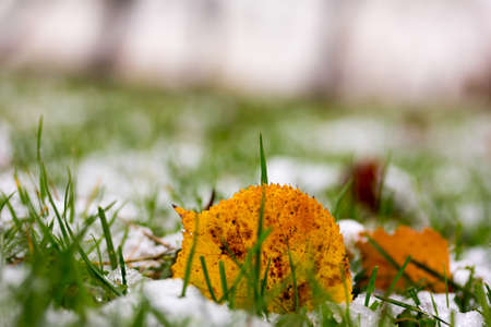 yellow fallen leaf and the first snow in autumn Park early in the morning Stock Photo