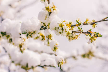 flowering branches of a fruit tree in the snow, selective focus small depth of field Zdjęcie Seryjne