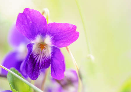 macro photo of a wild violet flower on a meadow in the spring morning, shallow depth of field