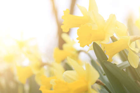 daffodil flowers in bright sunlight on a warm spring morning