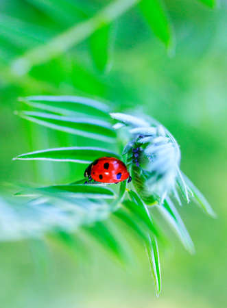 ladybug and aphid under the leaf of the plant in the spring or summer morning Stock Photo