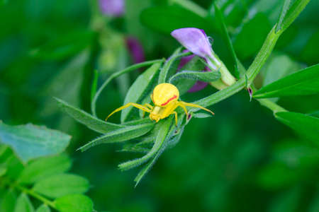 Flower yellow spider (Misumena vatia) on green grass
