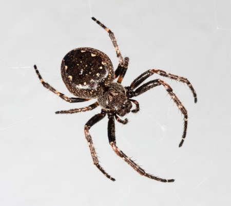 big spider araneus closeup on grey background Stock Photo
