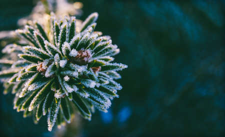 winter macro photo spruce branch in ice crystals, with copy space