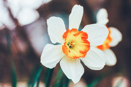 beautiful flowers of daffodils in the spring morning closeup Stock Photo