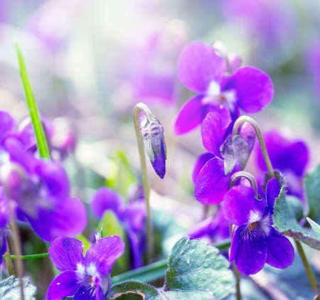 meadow with wild flowers violets on a spring morning Stock Photo - 114612435