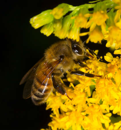 honeybee collects pollen from yellow flower goldenrod on a black background Stock Photo
