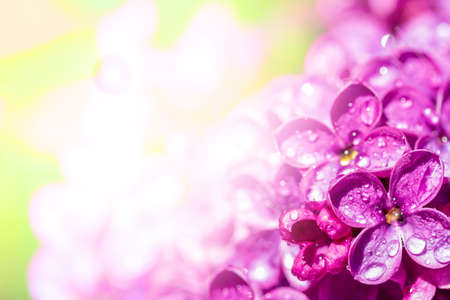 lilac flowers with dew drops on a Sunny spring morning, with copy space