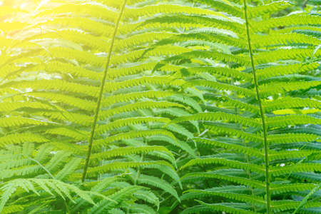 green fern leaves in the spring forest on a Sunny morning