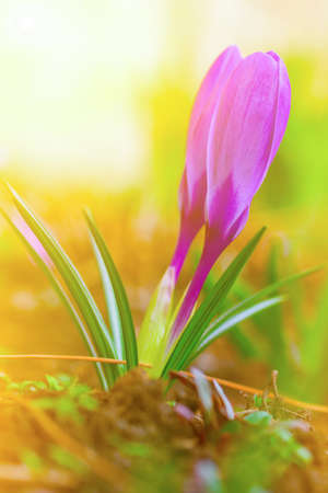 purple buds of beautiful spring flowers Crocus closeup spring Sunny morning, soft focus