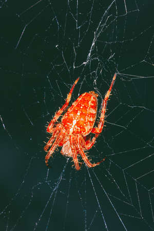 a large orange spider araneus on the web