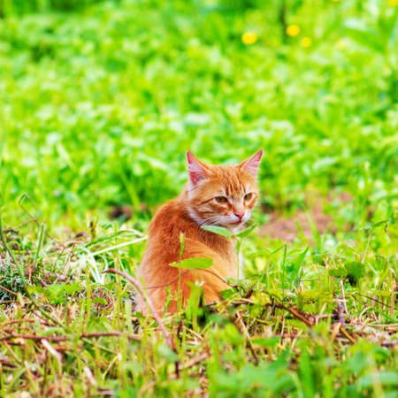 ginger cat in green grass on spring or summer morning