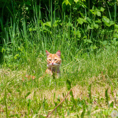 red cat in green grass on spring or summer morning Stock Photo