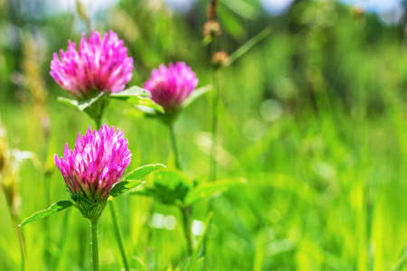 green meadow with flowering clover on spring or summer Sunny morning
