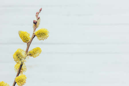 blooming willow tree on light grey background with copy space, spring Easter concept