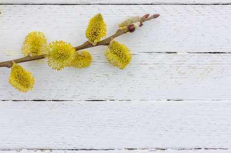 twig of flowering willow on white wooden background with copy space, spring Easter concept Stock Photo