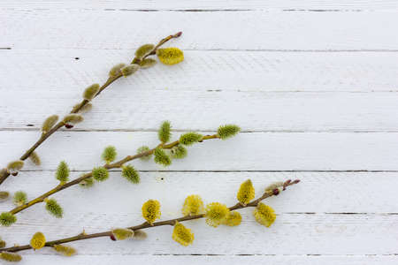 sprigs of flowering willow on white wooden background with copy space, spring Easter concept Stock Photo