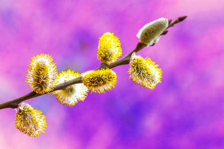 sprig of flowering willow on a purple background, spring easter concept Stock Photo