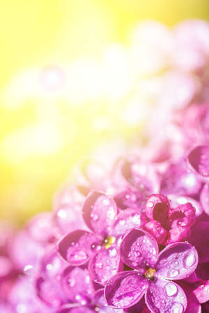 lilac flowers with dew drops on a sunny spring morning, with copy space Stock Photo