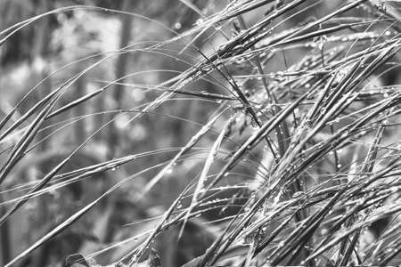 grass in raindrops on a spring or summer morning, black and white photo