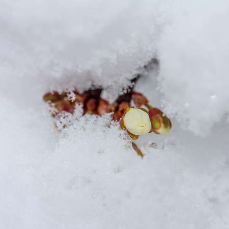 Sprig of blooming cherry plum covered with suddenly fallen snow close-up, bottom view