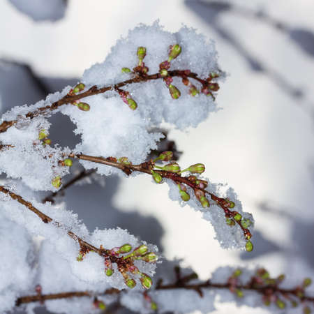 Twigs of blooming cherry plum covered with suddenly fallen snow close-up, bottom view