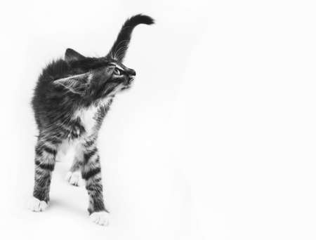 little gray kitty with ears pinned looks up, white background with copy space black and white photo Фото со стока