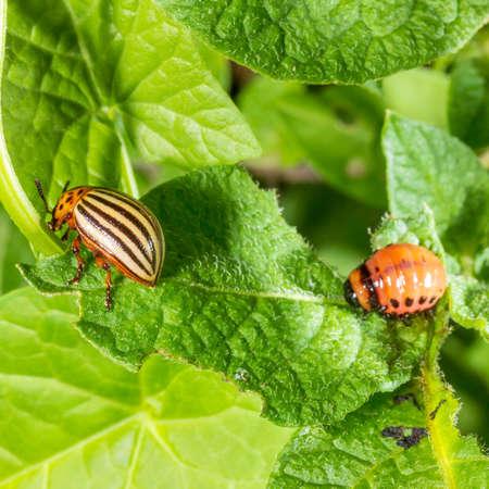 Colorado potato beetle and larva eating potato leaves Banque d'images - 122289949