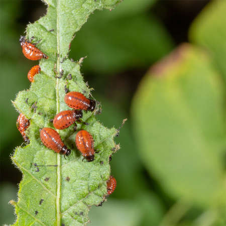 the larvae of the Colorado potato beetle devouring a potato leaf Stok Fotoğraf - 122289959