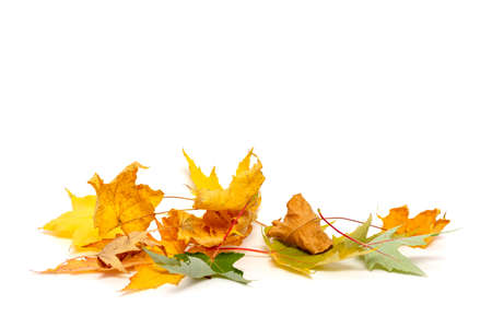 dry maple leaves isolated on white background with copy space