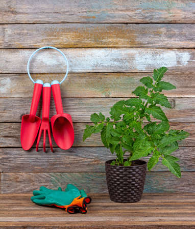 set of red plastic garden tools, green protective gloves seedling tomato in a pot on a wooden background close-up