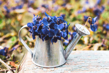a bouquet of blue of forest flowers in a tin watering can on a blue wooden retro board on a flower meadow close-up Stok Fotoğraf
