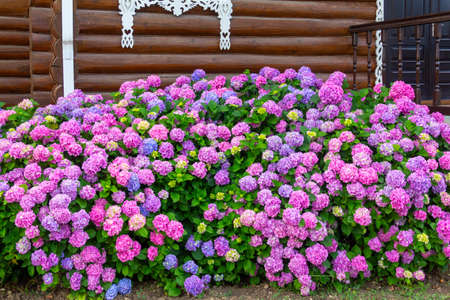A large flowerbed with beautiful multi-colored hydrangea flowers near a wooden house