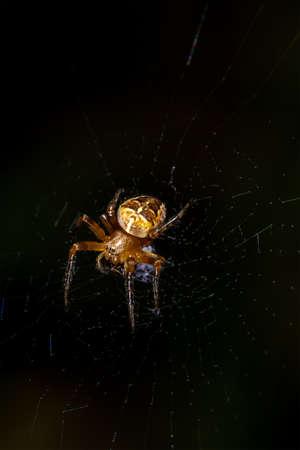 European garden spider (cross spider, Araneus diadematus) on a web on a dark background