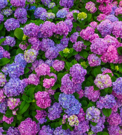 Flowerbed with beautiful multi-colored hydrangea flowers close-up