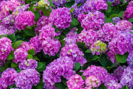 Flower bed with beautiful hydrangea flowers close up