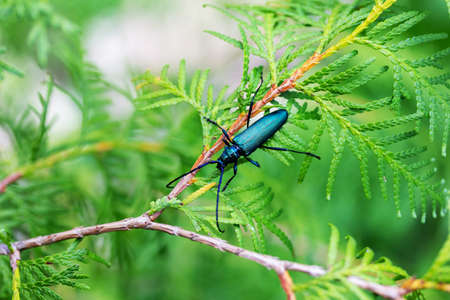 barbel musk beetle (Aromia moschata) on a branch of a coniferous tree thuja close-up Stock Photo