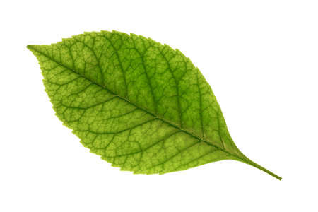 green ash leaf isolated on white background