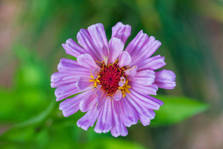 pink zinnia flower close-up, top view