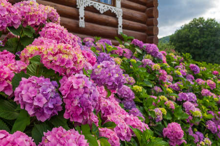Large flowerbed with beautiful hydrangea flowers near a wooden house