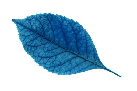 blue leaf isolated on white background