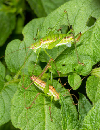 two grasshoppers a male and a female sit on green potato leaves