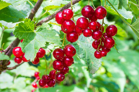 ripe clusters of red currant berries on the branches