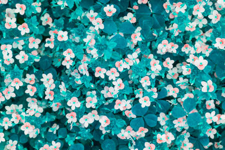 abstract spring background of small white flowers in a meadow with greenish blue grass, top view