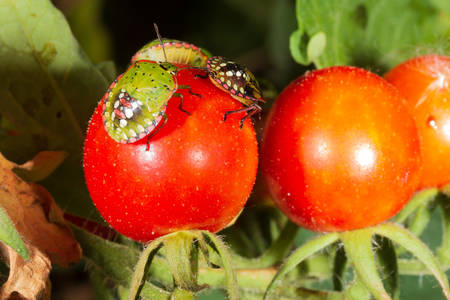 bug pest harmful turtle (Eurygaster integriceps) on ripe tomatoes close-up