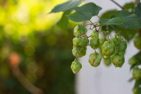 Ingredient for making yeast and beer, green climbing plant hops, selective focus Stock Photo