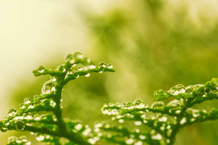 natural background with dew drops on green branches of thuja, low depth of field