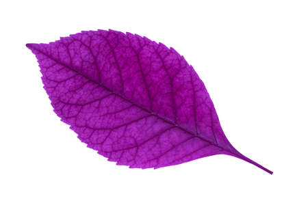 purple leaf isolated on a white background close up view from above