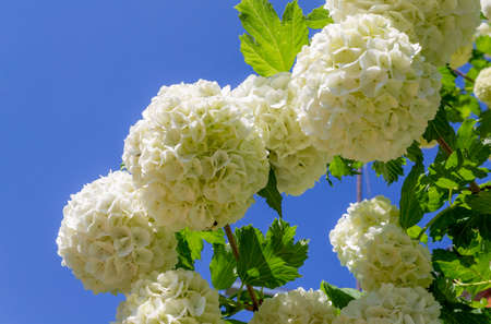 Beautiful blooming white flowers Viburnum Opulus on a background of blue sky