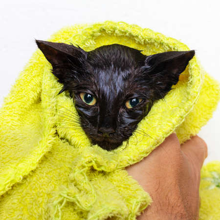 Black little scared wet kitten is wiped with a towel after bathing, close-up